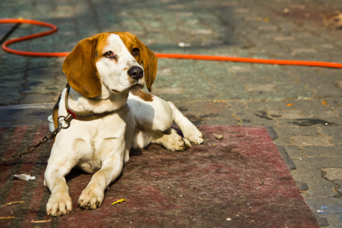 POTD day 39 Beagle