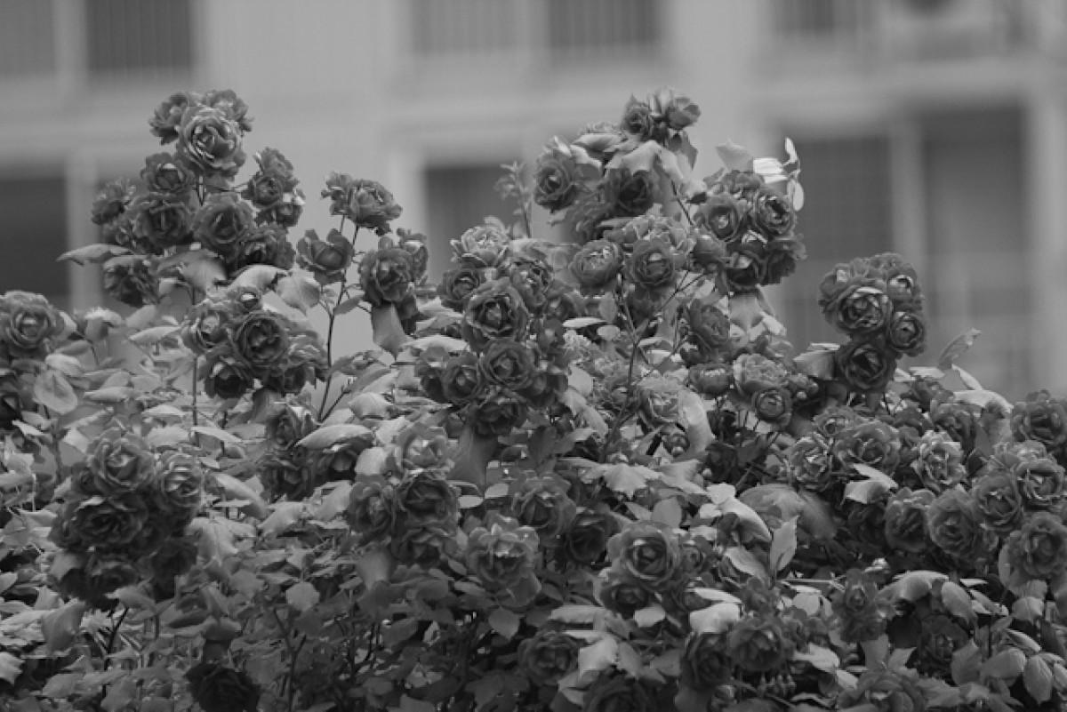 POTD day 158 Rosebush in black and white
