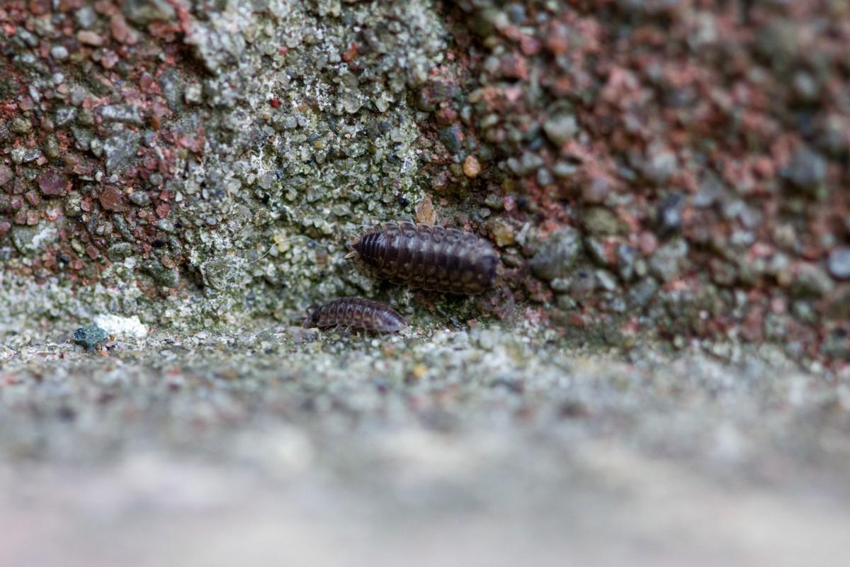 Wood Lice