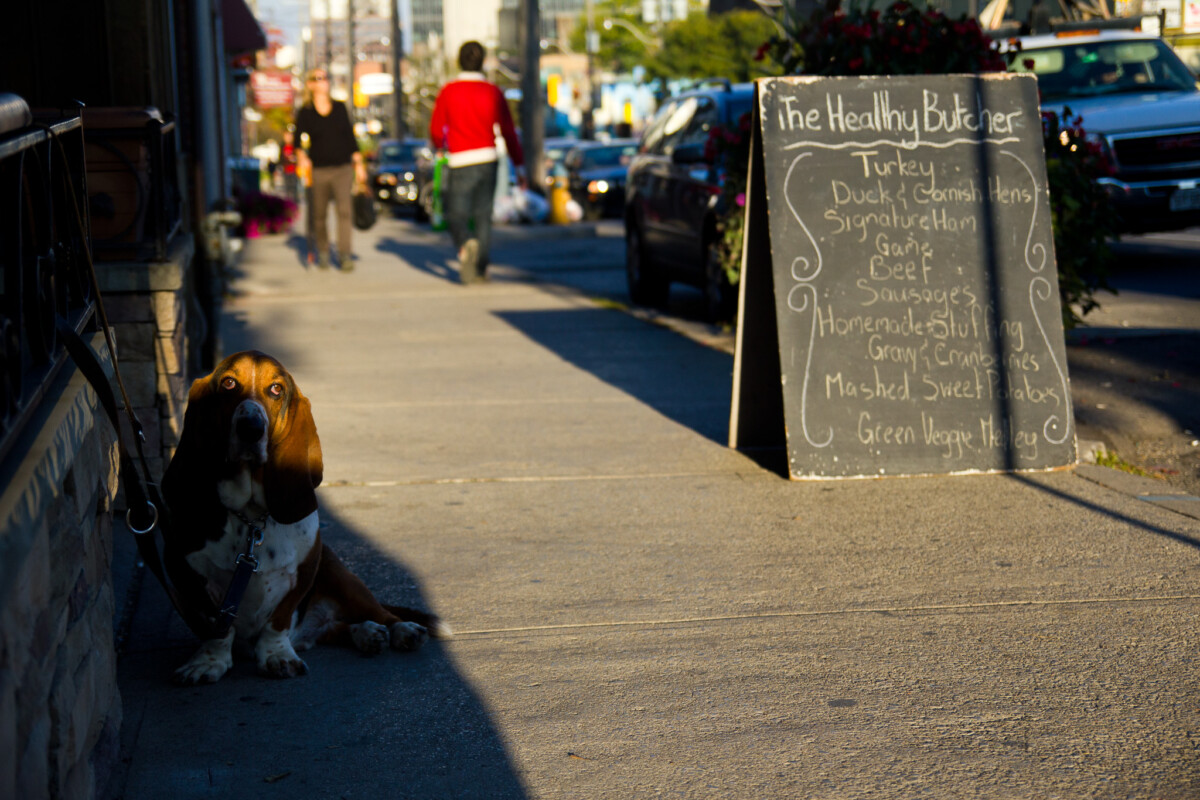 Basset Hound outside The Healthy Butcher